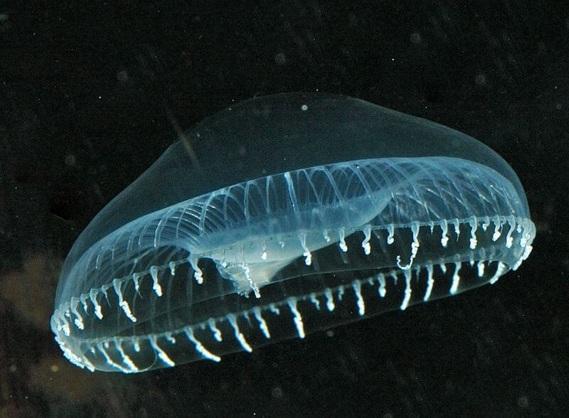 The jellyfish