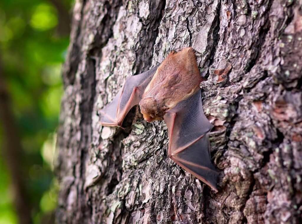 Nocturnal Bats